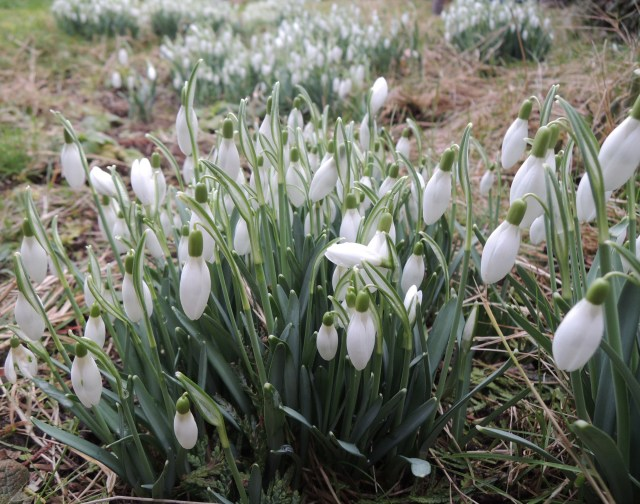 A close-up view of snowdrops