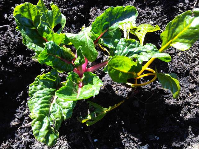 This chard did poorly all last year, but started to grow again. I have high hopes...