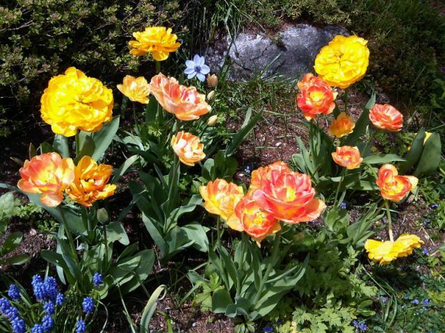 fabulous tulips