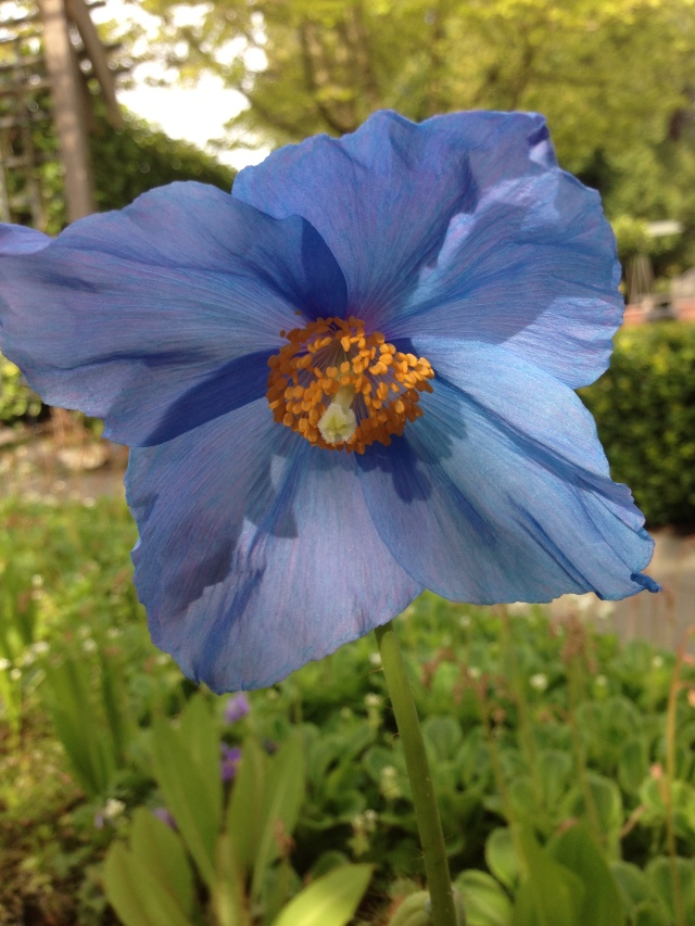 Himalayan Blue Poppy, Photo from Mrs. B.