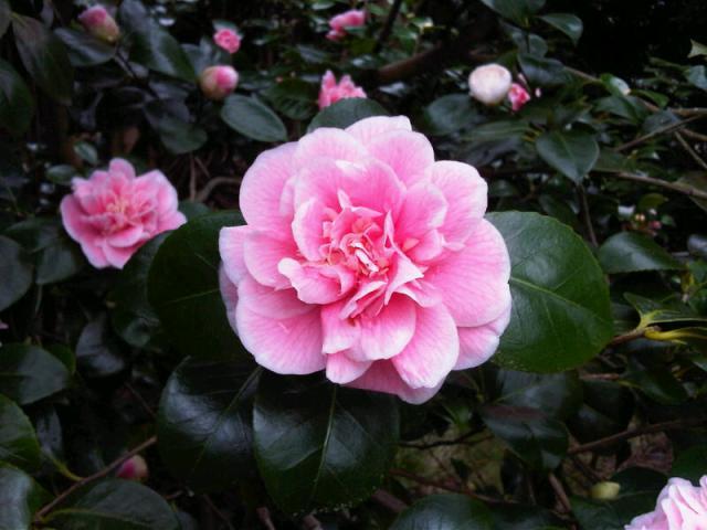 pink camilia