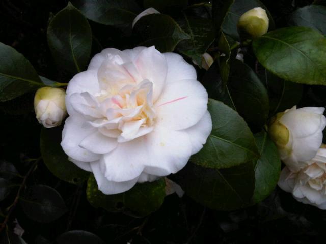 White camilia