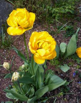 Yellow tulips planted by me.