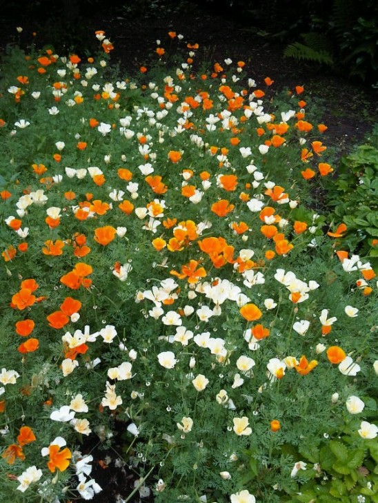 These California poppies are taking over the front yard.