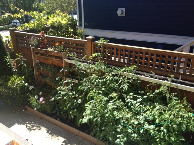 View of Megan's green wall from her kitchen door. There is a pallet garden to the far left, tomato plants and a gutter garden near the top of the fence.