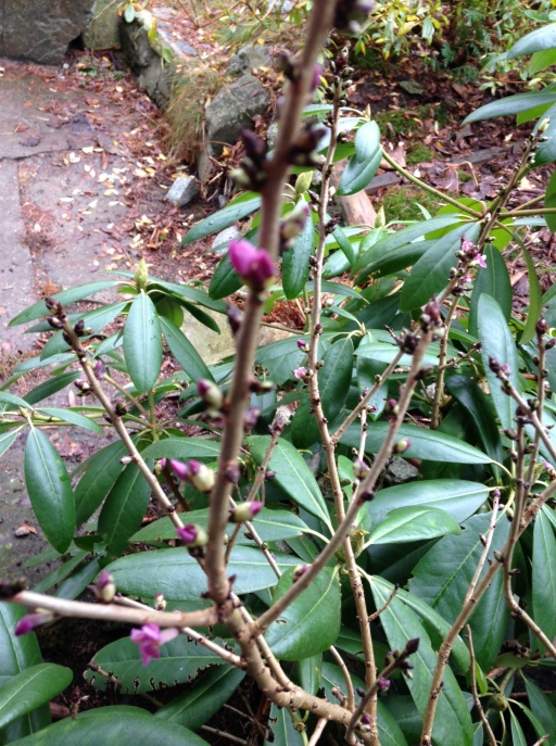 Daphne blooming already. Out of focus!