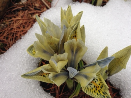 Although these iris don't photograph well against the snow, they have naturalized and are starting to spread in clumps.