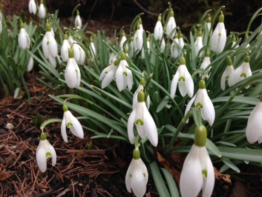 I can't get enough of the snow drops