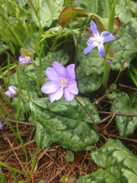 Two kinds of small blue flowers