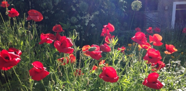 super red poppies