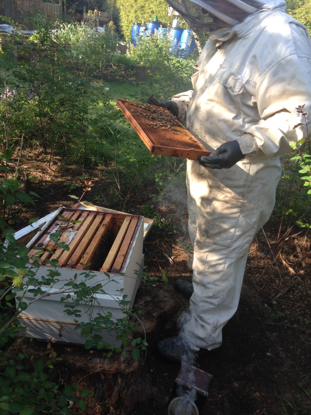 Art checking one of the frames. Very few bees.....